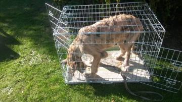 irischer wolfshund Welpe Boxentraining